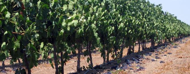 barkan-negev-vineyard